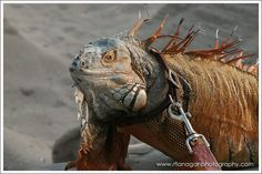 This reminds me of a man I saw walking his iguana on a leash at the Coconut Grove Arts Festival in the 1970s.