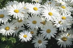 Daisies are cheerful flowers that bring a smile to any gardener's face. Shasta daisies (Chrysanthemum maximum), which thrive in U.S. Department of Agriculture plant hardiness zones 5 through 8, ...