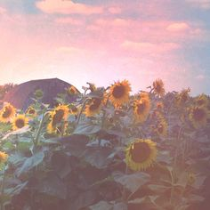 Sunflower Field, rustic decor, farmhouse style art, muted faded photo, cottage decor, floral print, autumn field, summer landscape, dreamy by joystclaire on Etsy https://www.etsy.com/listing/199899664/sunflower-field-rustic-decor-farmhouse