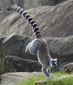 Lemur gymnastics.