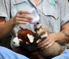 A 2-month-old red panda cub whose neck was injured while she was being carried by her mom at Australia's Taronga Zoo is getting some comfort from a surrogate — and a stuffed animal that looks like her mom.