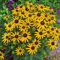 Little Goldstar Black-eyed Susan ~ Rudbeckia fulgida 'Little Goldstar' ~ tall ~ Spacing ~ Yellow daisy-like flowers surrounding a prominent brown cone. Blooms in midsummer to mid-fall. Plant in full sun in moist, well drained soil. Shasta Daisies, Sage Plant, Indigo Plant, Sun Perennials, Clay Soil, Heuchera, Black Eyed Susan, Pink Flowers, Pretty Flowers