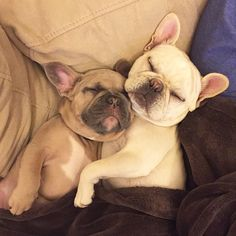 Frenchie snuggles