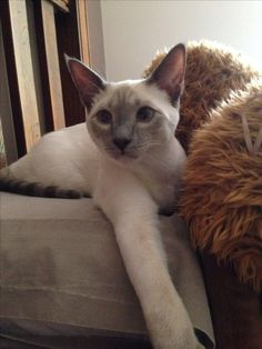 Lilac point siamese - Albus.  Sebastien looked like this before he turned two.