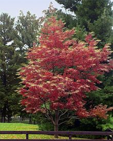 Sourwood tree in Fall, very red