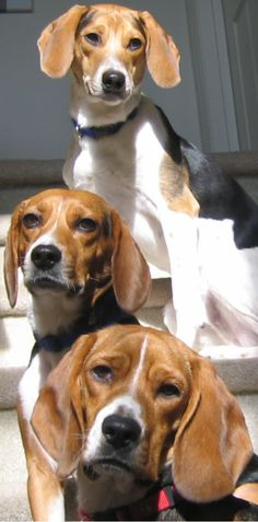 Beagle rescue league Inc.Beagle Rescue League  PO Box 424  Yardley, PA 19067-8424  Ph/Fax: 866-739-0350  For general inquiries contact us at: info@beaglerescueleague.org