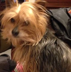 This is a very handsome Yorkie, Willie. It is amazing how much these little animals help us through the tough times.
