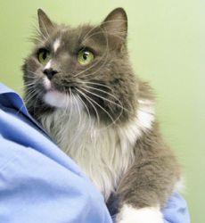 Adopt Boo Boo @ Feline Rescue St. Paul, MN. senior female, spayed, fully vetted