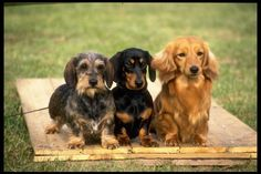 Dachshunds, teckels, wiener dogs. No matter what the names are...