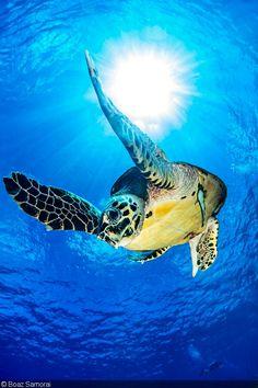 Sea Turtle by Boaz Samorai