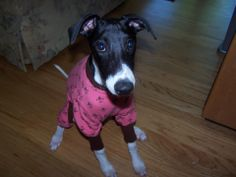 """Nancy's Dog Paws Boutique Whippet Thermal Pajamas  """"Pink Fleur-de-lis"""" with knit brown ribbing made for Whippets Model by:  Dottie Mae"""