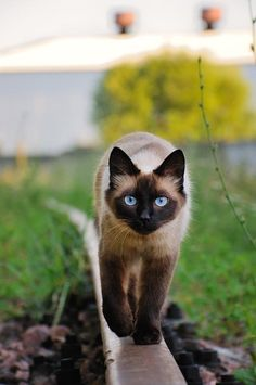 Adorable beautiful blue eyes cat walking on a railway track