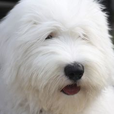 Bernadette the Old English Sheepdog I could eat her up. I want one soooo badly. Look at that adorable face.