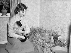Geoff Charles (1909-2002), photographer. Anne Adams, Newtown, cradling a cat and kneeling next to a sick swan in it's nest. March 1953.