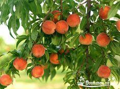ДЕРЕВО ИЗ ПЕРСИКОВОЙ КОСТОЧКИ   Считается, что выращивание персикового дерева из косточки – дело сложное и кропотливое, однако садоводу может вполне оказаться по силам. Для этого понадобится косточка понравившегося плода и соблюдение нескольких не сложных этапов выращивания дерева.    Не стоит забывать, что персик – растение теплолюбивое, потому место для его посадки должно быть солнечным и защищенным от ветров.    Косточку понравившегося плода следует сразу после изъятия из самого плода…