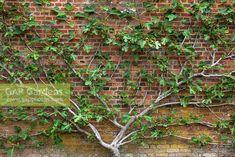 Ficus carica - espaliered fig