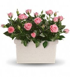 Two pretty pink miniature rose bushes are delivered in a white rectangular planter. Any time is the right time for a rose repose!