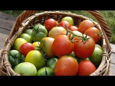 Как вырастить чудо-томаты и собрать хороший урожай? . Обсуждение на LiveInternet - Российский Сервис Онлайн-Дневников