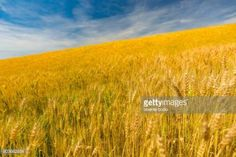 07-06 Growth harvest. Wheat field natural product #bodo... #bodo: 07-06 Growth harvest. Wheat field natural product #bodo… #bodo