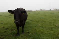 Cow in the fog...This image is a part of a free collection of 50 pictures that can be downloaded if you join the my mailing list. I'll also send you a free Ebook about the best egg laying chickens as well. Just click the link in the pin for more details Free Images For Blogs, Best Egg Laying Chickens, Farm Animals, Free Gifts, Cow, Fancy, Link, Pictures, Collection
