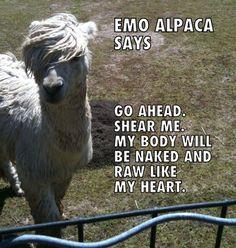 Emo alpaca