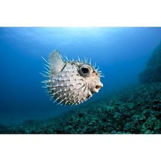 Dave Fleetham Premium Thick-Wrap Canvas Wall Art Print entitled Hawaii, Maui, Spotted Porcupinefish (Diodon hystrix) swims along the ocean floor, None Underwater Creatures, Ocean Creatures, Underwater World, Balloon Fish, Tarot, Animal Facts, Ocean Life, Goldfish, Animals