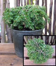 From page 110: Jean Iseli Dwarf Canada Hemlock is great for shade or part shade. #miniaturegarden