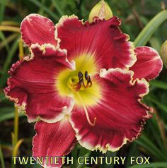 Ladybug Dayilies - Quality Field Grown Daylilies!!!!