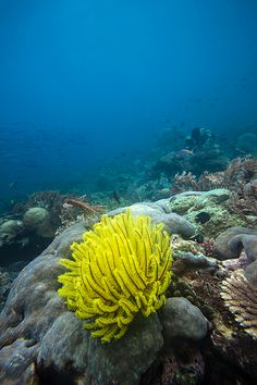 A yellow featherstar in a coral reef at a dive site known as Lalosi (Fusiliers), Raja Ampat, West Papua, Indonesia