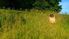 Free Me Up Before You Go Go❗ #mauricethepug #iulianmarcu #freedom #freemeup #free #summer #wham #georgemichael #grass #freen #run #puglife #pugchat #pug #mops #dog #puppy