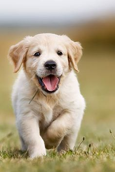 Golden Retriever Discover These Are the 25 Smartest Dog Breeds According to Science These Are the 25 Smartest Dog Breeds According to Science via Really Cute Puppies, Super Cute Puppies, Cute Baby Dogs, Cute Little Puppies, Cute Little Animals, Cute Dogs And Puppies, Retriever Puppy, Dogs Golden Retriever, Golden Retrievers