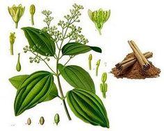cinnamomum verum - Google Search