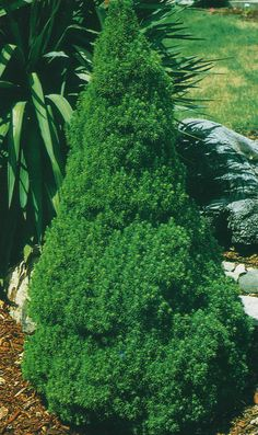 Dwarf Alberta Spruce - compact, slow-growing, evergreen. Full sun. Up to 6' at maturity.