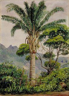 Oil Palm at Tijuca, Brazil