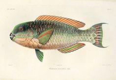 Ichthyologic Atlas East Indies Neerlandaises By Bleeker, P. Rare Fish, John James Audubon, East Indies, Cerberus, Fish Print, Sea Fish, Pacific Ocean, Prints For Sale, Animals