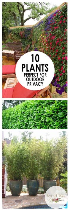 garden outdoors These stunning plants work hard to create outdoor privacy. These outdoor privacy plants are easy to manage, and a great addition to your yard. Try these plants for outdoor privacy! Privacy Plants, Privacy Landscaping, Outdoor Privacy, Backyard Privacy, Garden Landscaping, Privacy Screens, Privacy Hedge, Backyard Ideas, Fence Plants