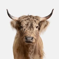 Simple Portraits Reveal the Unique Personalities of the Animal Kingdom Photographer Randal Ford captures minimalist yet emotive photos of animals. Scottish Highland Cow, Highland Cattle, Scottish Highlands, Farm Animals, Animals And Pets, Cute Animals, Wild Life, Beautiful Creatures, Animals Beautiful