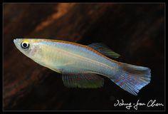 Land of Water and Aquaria - Procatopusnototaenia - Large-finned...