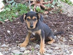 Bedminster, NJ - Dachshund Mix. Meet JUSTICE, a puppy for adoption. http://www.adoptapet.com/pet/11656894-bedminster-new-jersey-dachshund-mix