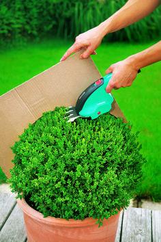 Buchsbaum schneiden mit Schablone