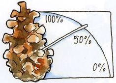 Koglen åbner sig, når det er tørt og lukker sig når det er fugtigt i luften.  Tegning: Bettina B. Reimar.