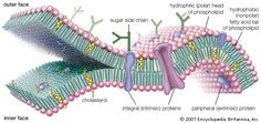 Cholesterol Cell Membrane -Learn how to lower cholesterol safely and naturally at: http://vitamins.vitanetonline.com/index.php/category/cholesterol/