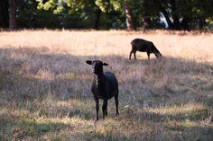 #pfaueninsel #PeacockIsland #sheep