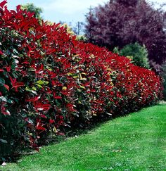 Photinia red robin hedge