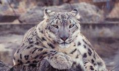 Leopard-- the pose - Prateek Nepation