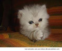 Cute white persian kitten | Cute Cat Kitten