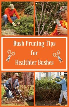 Bush Pruning Tips for Healthier Bushes: Properly pruned plants look better and live longer. Avoid ruining your shrubs by over-pruning. http://www.familyhandyman.com/landscaping/bush-pruning-tips-for-healthier-bushes