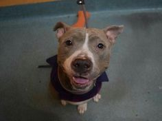 """NYC ACC TO KILL """"CHYNA""""- THURS. -1/5/17- AVAILABLE AT BROOKLYN ACC -#A1109166- urgentpodr.org."""