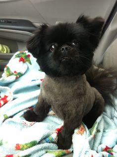 Cute haircut on Miss Lucy! Pomeranian cutie