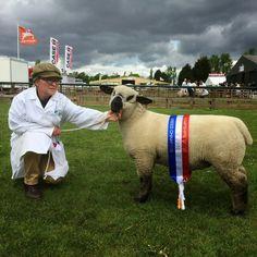 Newark and Notts County Breed Champion 2015 ewe lamb Charro, Hampshire, Sheep, Lamb, Goats, Champion, Backyard, Cute, Animals
